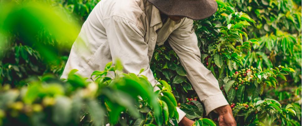 ABN AMRO, Rabobank en BNP Paribas steunen samen kleine koffieboeren